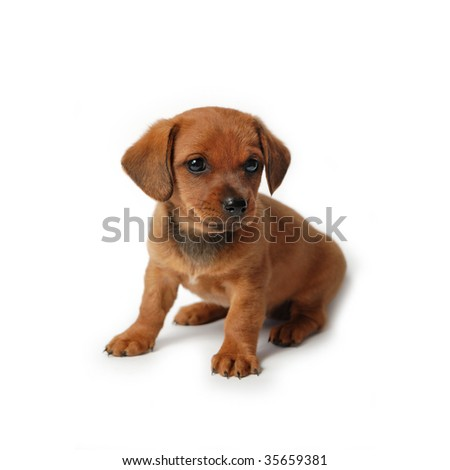 Brown puppy isolated on white background - stock photo