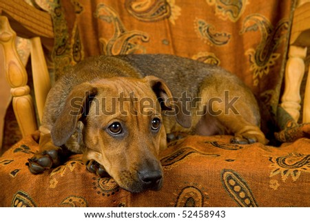Brown puppy lying down on wooden chair with cloth - stock photo