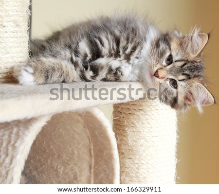 brown puppy of siberian cat on the scratching post - stock photo