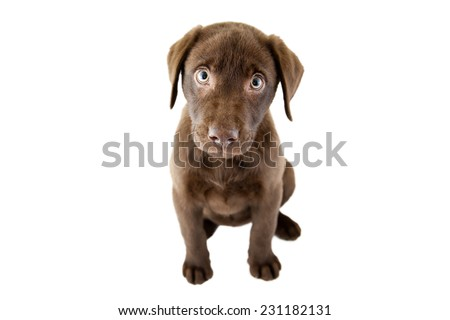Brown puppy on a white background - stock photo