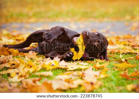 brown puppy rolling on the ground - stock photo
