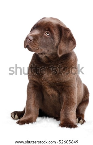 Brown puppy sitting on white background