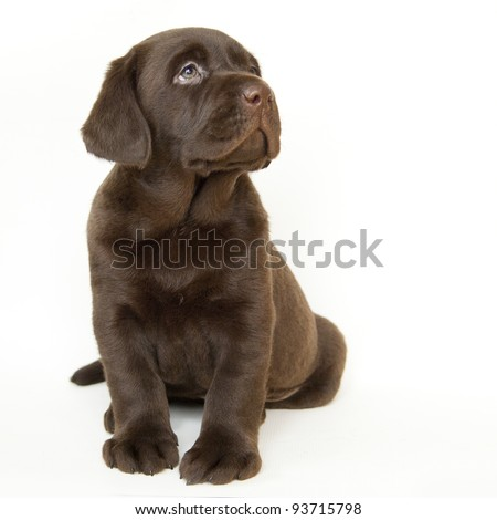 Brown puppy, white isolated