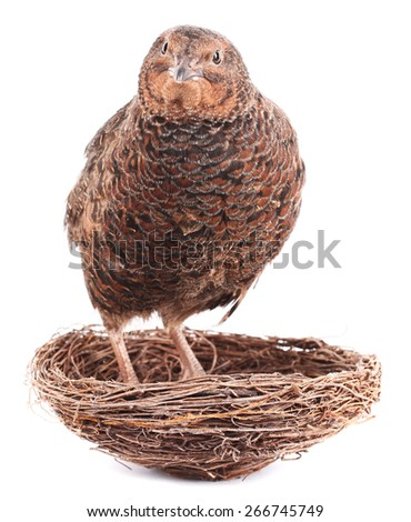 Brown quail is standing in nest - stock photo