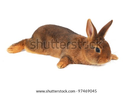 Brown Rabbit - stock photo