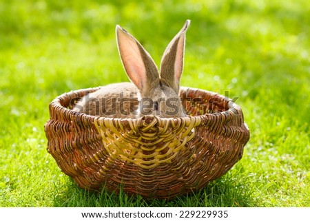 Brown rabbit in garden, hiding in wicker basket - stock photo