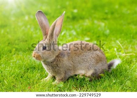 Brown rabbit in green grass - stock photo
