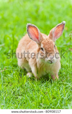 Brown rabbit on the grass