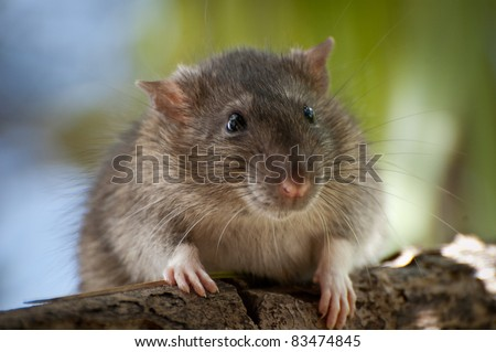 Brown Rat