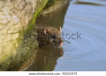 Brown Rat - Rattus norvegicus Entering water - stock photo