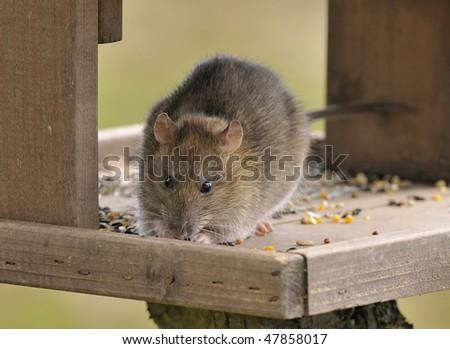 Brown Rat - Rattus norvegicus Raids garden bird table for seed - stock photo
