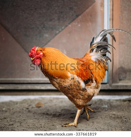 Brown red free chicken rooster in rustic farm yard - stock photo