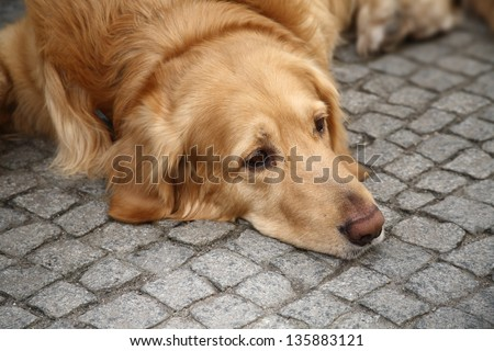 Brown retriever dog lying on the pavement looking sad - stock photo