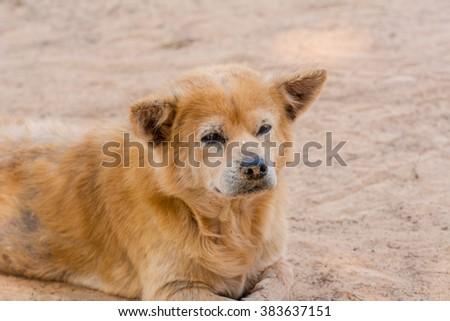 Brown retriever dog,the looking sad.