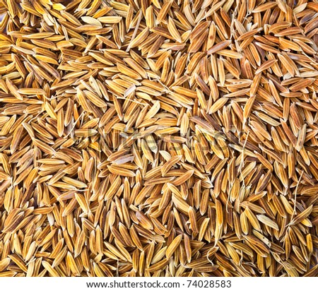 Brown rice paddy isolated on white. - stock photo