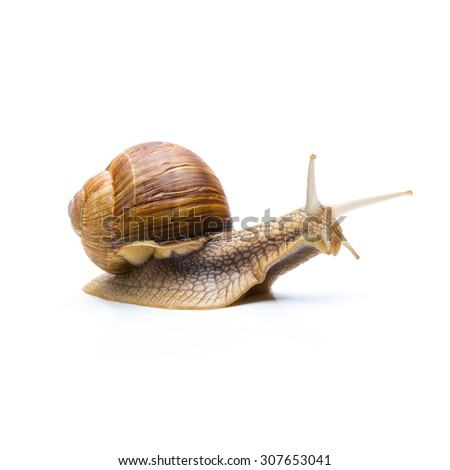 brown roman snail isolated on white - stock photo