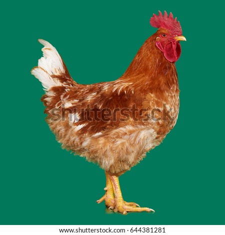 Brown Rooster On Green Background Live Chicken One Closeup Farm Animal