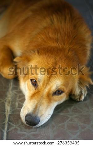 brown sad dog lay on the floor - stock photo