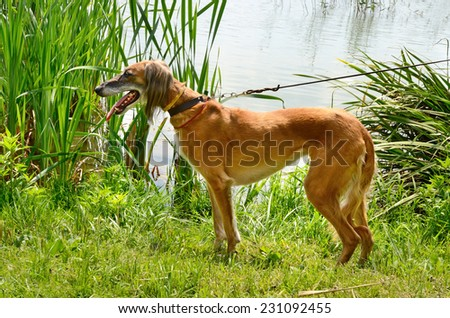 Brown Saluki or Kazakh greyhound Tazi and white Russian wolfhound standing on a meadow on a river background - stock photo