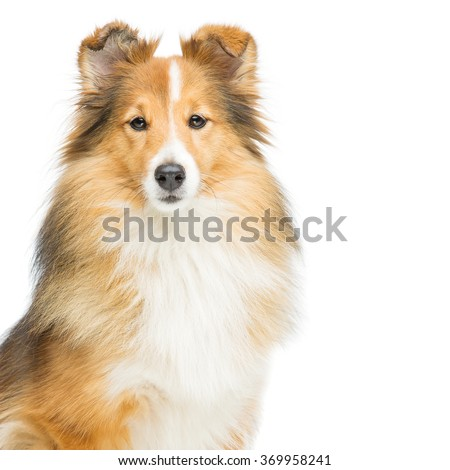 Brown sheltie dog - stock photo
