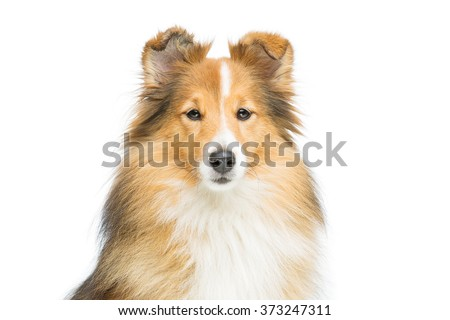 Brown sheltie dog - stock photo