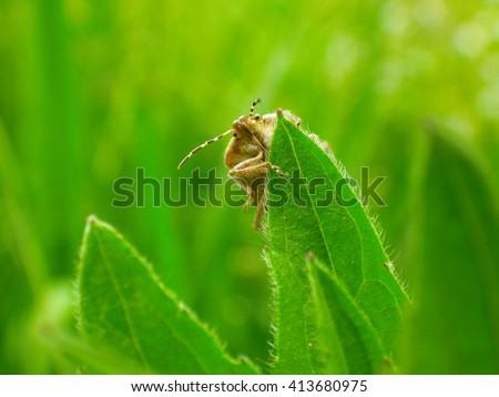 Brown Shield Bug clinging to the edge of a plant leaf, Bug macro , spring nature background - stock photo