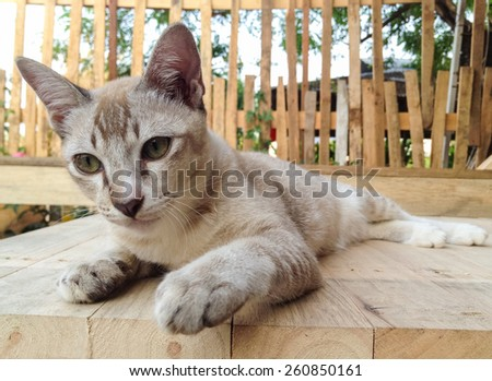 Brown Siamese cat sitting on the wooden table. - stock photo