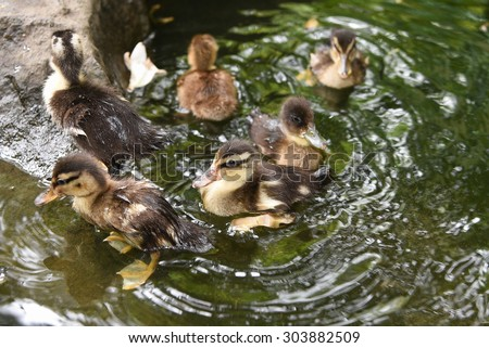 Brown small baby ducks swimming in a pond , new born chicks floating on water without mother.cute ducklings without parents guidance beside a rock in natural habitat in Kerala India. - stock photo