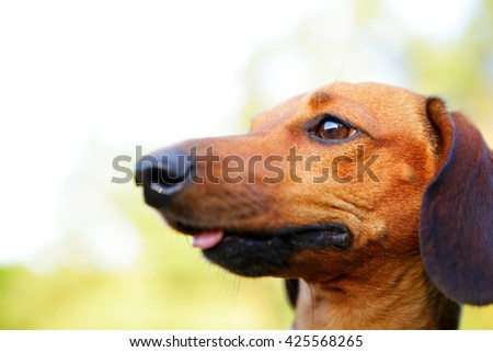 Brown smooth haired dachshund portrait in profile closeup against green blurred nature background - stock photo