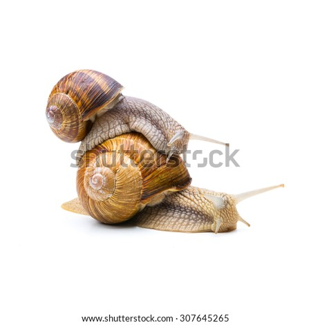 brown snail carries the other snail on the back - stock photo