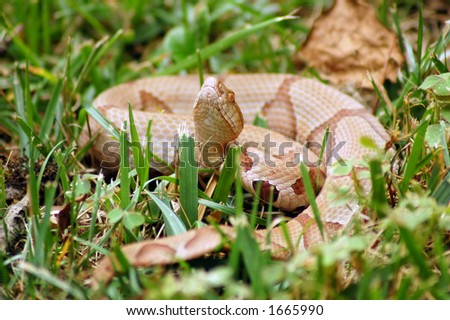 brown snake - stock photo