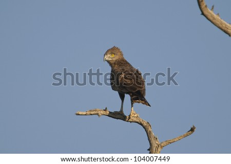 Brown Snake Eagle (Circaetus cinereus), Venetia Limpopo Nature Reserve, Limpopo Province, South Africa. - stock photo
