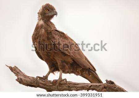 Brown Snake Eagle perched high in a dry tree - stock photo