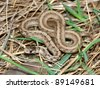 Brown Snake (Storeria dekayi) at Deer Run Forest Preserve in northern Illinois - stock photo