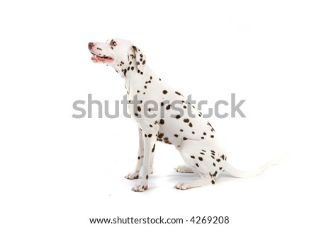 brown spotted dalmatian dog - stock photo