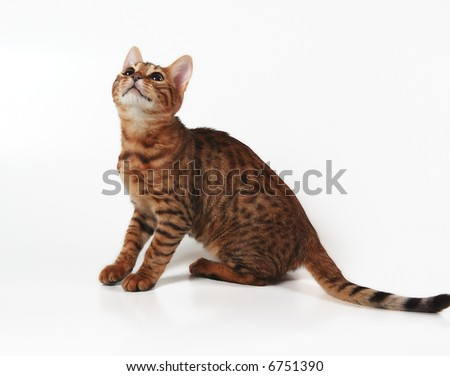 brown spotted kitten of bengals breed - stock photo