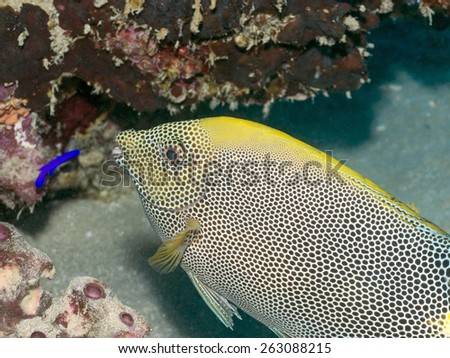 Brown-spotted spinefoot