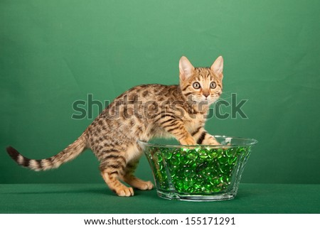 Brown spotted tabby Bengal kitten playing with backlit green glass marbles in vase on green background - stock photo
