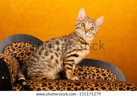 Brown spotted tabby Bengal kitten sitting on miniature leopard print chaise sofa chair couch on gold background - stock photo