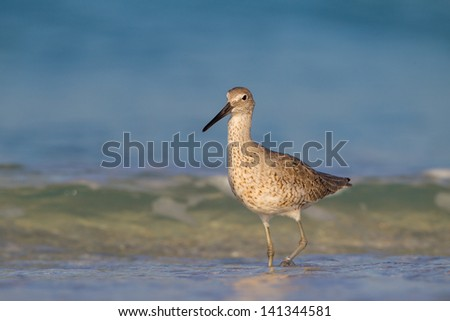 Brown spotted willet steps through water