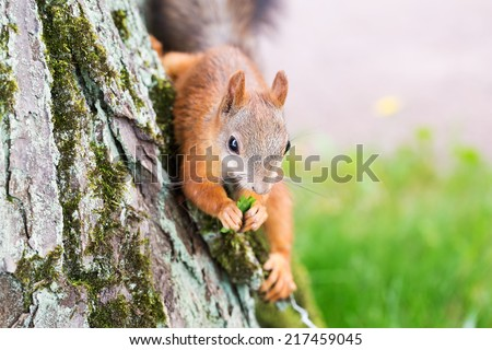 Brown squirrel  - stock photo