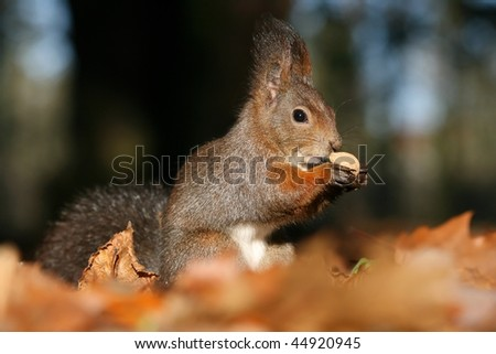 Brown squirrel with nut - stock photo