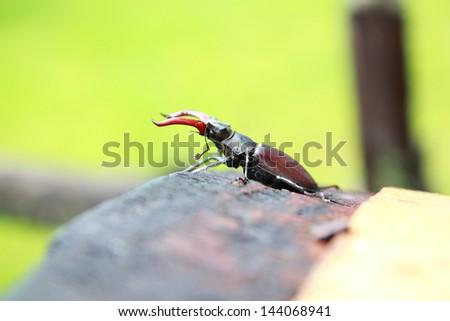 Brown stag beetle (Lucanus cervus) - the largest european beetle - stock photo