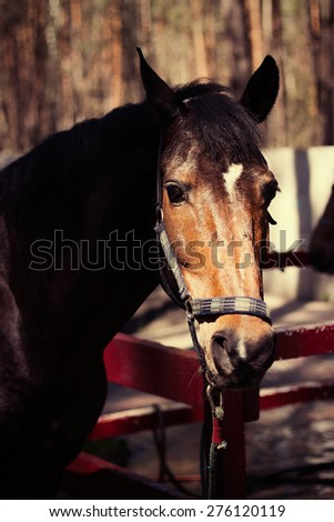 Brown stallion. Portrait of a sports brown horse. Riding on a horse. Thoroughbred horse. Beautiful horse. - stock photo