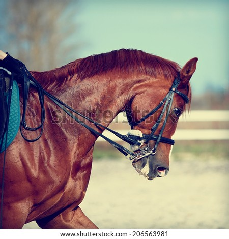 Brown stallion. Portrait of a sports red horse. Riding on a horse. Thoroughbred horse. Beautiful horse. - stock photo