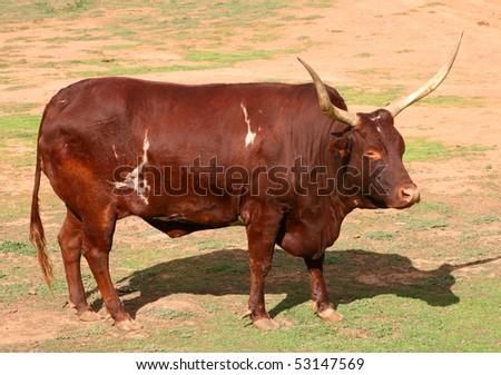 brown steer - stock photo