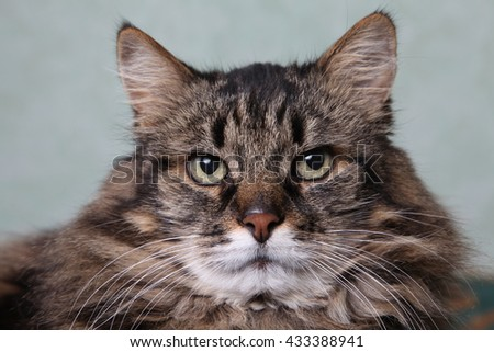 Brown stripped cat portrait - stock photo