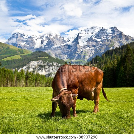 Brown Swiss Cow in the Alps Mountain Range - stock photo