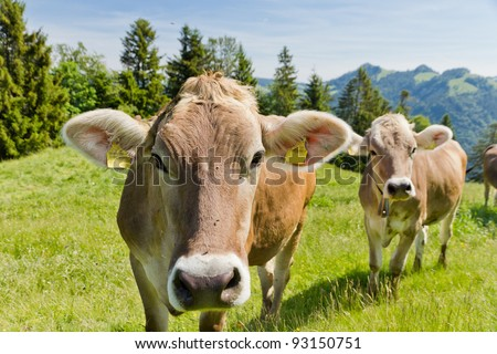 brown swiss cows on mountain pasture in Switzerland
