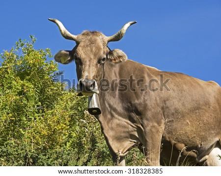 Brown Swiss, Schweizer Braunvieh mit Horn - stock photo